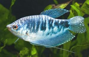Blue Gourami (Trichogaster trichopterus)
