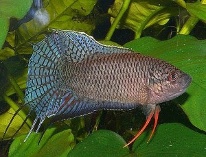 Black Paradise Fish (Macropodus spechti)