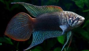 Round Tailed Paradise Fish (Macropodus Ocellatus)