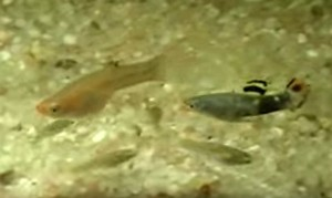 Black Livebearer (Micropoecilia picta) Pair
