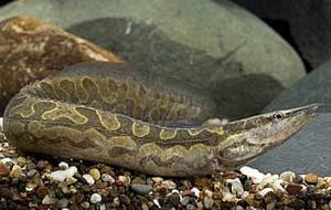 Tire Track Eel (Mastacembelus armatus)