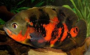 Red Tiger Oscar (Astronotus ocellatus)