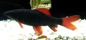 Rainbow Shark (Epalzeorhynchos frenatus)