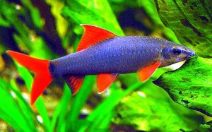 Rainbow Shark (Epalzeorhynchos frenatus)