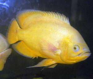 Yellow Oscar (Astronotus ocellatus)