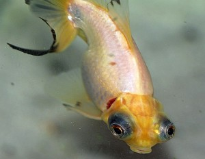Curled-gill goldfish