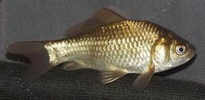 Wild Goldfish (Carassius auratus)