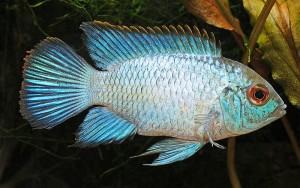 Electric Blue Acara (Andinoacara pulcher)