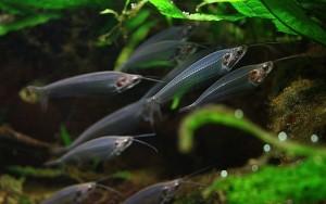 Glass Catfish (Kryptopterus vitreolus)