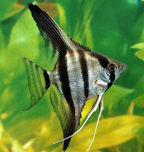 Silver Zebra Angelfish (Pterophyllum scalare)