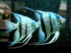 Silver Zebra Angelfish (Pterophyllum scalare) Pair