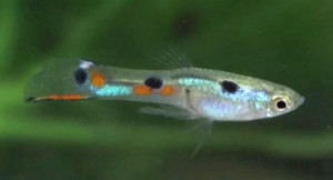 Bottom Sword Endler's Livebearer (Poecilia wingei)