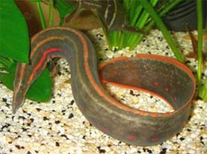 Fire Eel (Mastacembelus erthrotaenia)