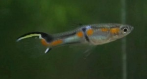 Mint Top Yellow Sword Endler's Livebearer (Poecilia wingei)