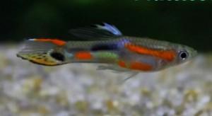 Multicolor Endler's Livebearer (Poecilia wingei)