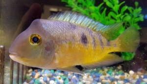 Nicaraguense Cichlid (Herichthys nicaraguense)