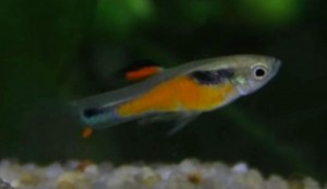 Orange Body Endler's Livebearer (Poecilia wingei)