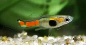 Orange Spotted Endler's Livebearer (Poecilia wingei)