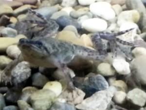 Dwarf African Frog (Hymenochirus boettgeri)