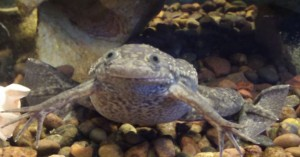 African clawed frog (Xenopus laevis)