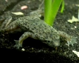 Dwarf African Frog (Hymenochirus curtipes)..