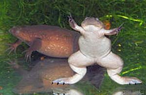 Western Clawed Frog (Xenopus tropicalis)