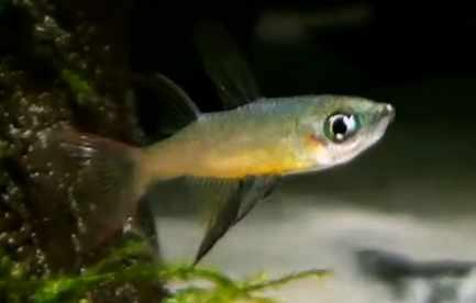 Threadfin Rainbow Male 2 Tropical Fish Keeping