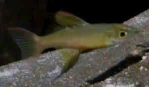 Featherfin Rainbow (Iriatherina werneri)