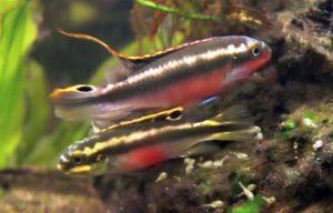 Kribensis Cichlid pair (Pelvicachromis pulcher)