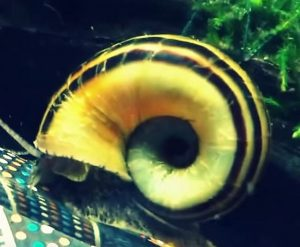Giant Ramshorn Snail (Marisa cornuarietis)