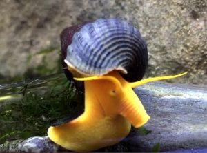 Gold Rabbit Snail (Tylomelania gennifera)