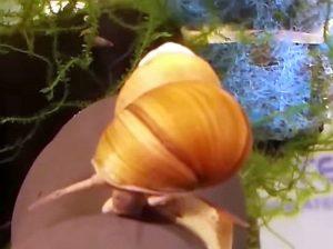 Japanese Trapdoor Snail (Bellamya chinensis)