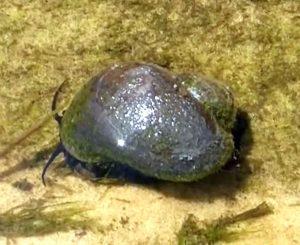 Mystery Snail (Pomacea Diffusa)