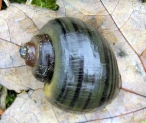 Spike Topped Apple Snail (Pomacea Diffusa)