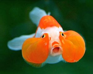 Bubble Eye Goldfish (Carassius auratus)