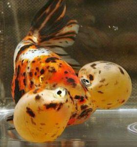 Bubble Eye Goldfish (Carassius auratus)