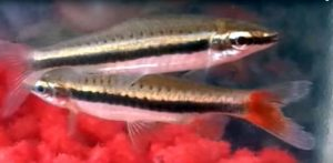 Elegant Pencilfish (Nannostomus limatus)