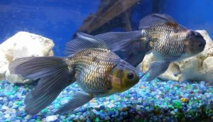 Black Oranda Goldfish (Carassius auratus)