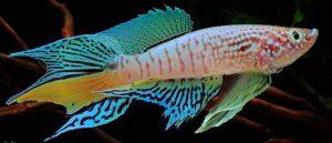 Blue Gularis Killifish (Fundulopanchax sjoestedti)