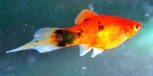 Common Platy Hybrid (Xiphophorus maculatus)