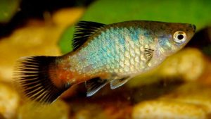 Common Platy (Xiphophorus maculatus)