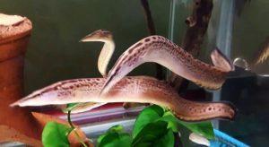 Black Spotted Eel (Mastacembelus dayi)