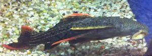Red Devil Pleco (Pseudacanthicus pirarara)