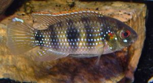 African Butterfly Cichlid (Anomalochromis thomasi)