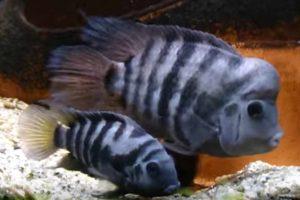 Convict Cichlid (Archocentrus nigrofasciatus)