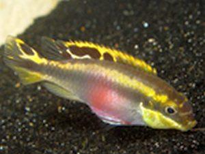 Kribensis (Pelvicachromis pulcher)