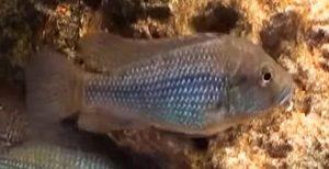 Astatotilapia Desfontainii Female