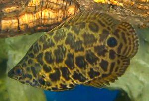 Leopard Bush Fish (Ctenopoma Acutirostre)