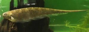 Centipede Knife Fish (Steatogenys duidae)
