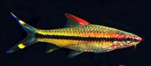 Karnataka Barb (Sahyadria denisonii)